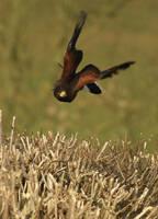 harris hawk in flight II by mk-thommo