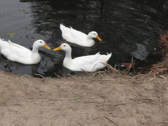 Duck Stock2 by reddev1n