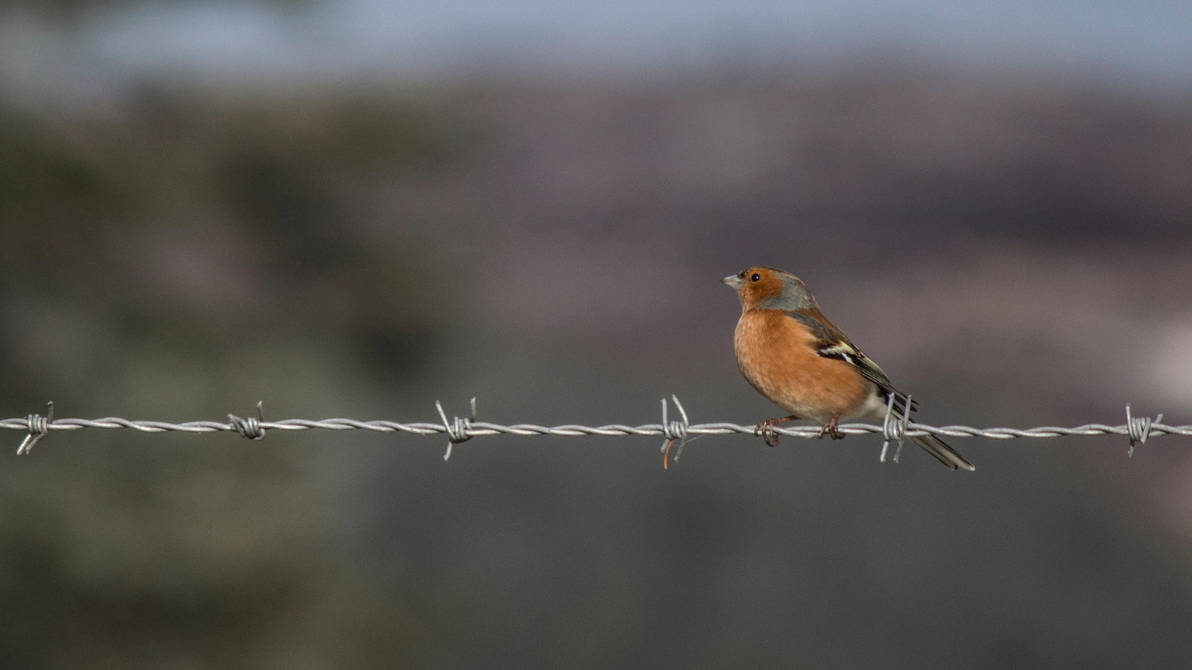 Barbed Bird by whitephotographySCOT