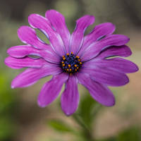 Purple Flower by whitephotographySCOT