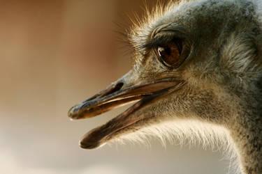 Ostrich 01 by lastdrop