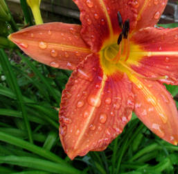Bedewed Day Lily by Whimseystock