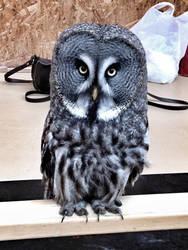 The owl by anushkacz