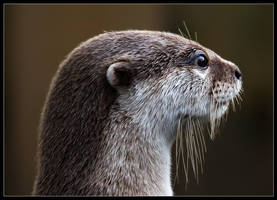 Otter by Wivelrod