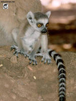 Baby lemur by jaffa-tamarin