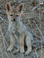 Baby jackal by jaffa-tamarin