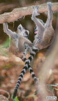 Baby lemurs just want to have fun by jaffa-tamarin