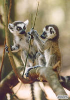 The secret world of tiny lemurs by jaffa-tamarin