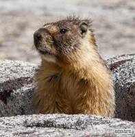 A marmot appears by jaffa-tamarin