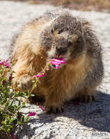 The marmot who inspects flowers by jaffa-tamarin