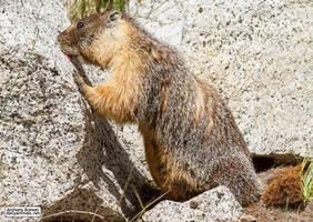 The marmot who inspects rocks by jaffa-tamarin