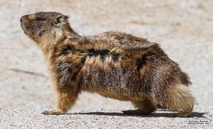 The marmot who poses in the wind by jaffa-tamarin