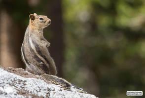 Squirrel stripes by jaffa-tamarin