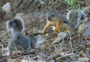 Squirrel courtship by jaffa-tamarin