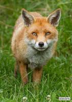 Frodo the fox by jaffa-tamarin