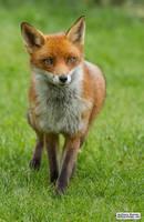 Flo the vixen by jaffa-tamarin