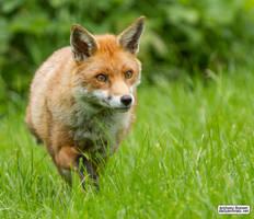 Foxing along by jaffa-tamarin