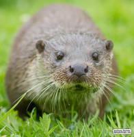 Inquisitive otter by jaffa-tamarin