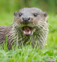 Happy otter by jaffa-tamarin