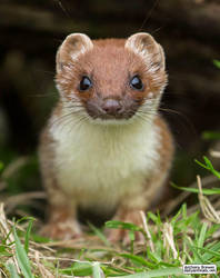 Meet the stoat by jaffa-tamarin