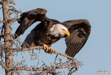 Bald Eagle: prelaunch wing test by jaffa-tamarin
