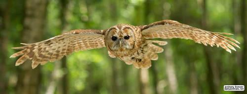 Owl flight by jaffa-tamarin