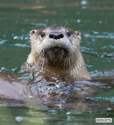 Hello otter! by jaffa-tamarin