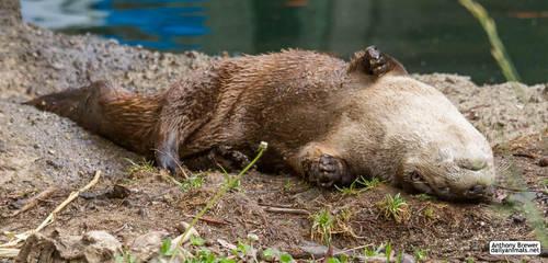 Otter rolls in the mud by jaffa-tamarin
