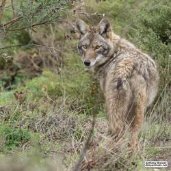 Wandering coyote by jaffa-tamarin
