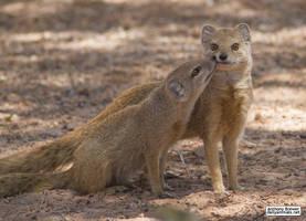Mongoose nuzzles by jaffa-tamarin