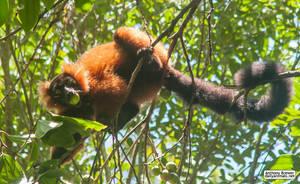 Highly endangered lemur by jaffa-tamarin