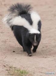 Skunk has right of way by jaffa-tamarin