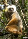 Stylishly lemur by jaffa-tamarin
