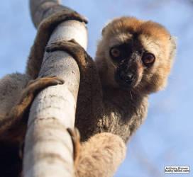 Valentine's Day lemur by jaffa-tamarin