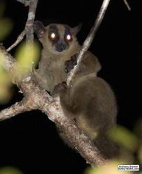Fork-marked lemur by jaffa-tamarin