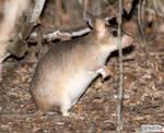 Giant jumping rat by jaffa-tamarin