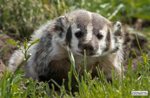Better be badger by jaffa-tamarin