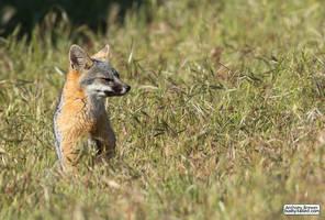 Sitting fox in a field of grass by jaffa-tamarin
