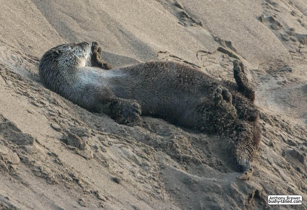Otter rolls in the sand by jaffa-tamarin