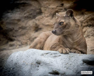 Fossa looking pretty by jaffa-tamarin