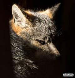 Fox in a sunbeam by jaffa-tamarin