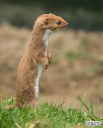 Least weasel by jaffa-tamarin