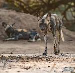 African wild dog by jaffa-tamarin