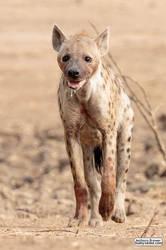 Hyena at Mana Pools by jaffa-tamarin