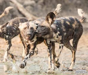 Dogs who splash together by jaffa-tamarin