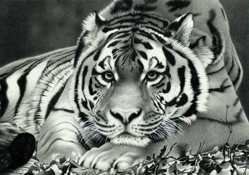 Amur Tiger by AlienOffspring
