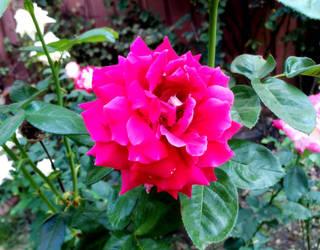 Rose 9 by AlienOffspring