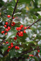 Holly Leaves by LibbyChisholm