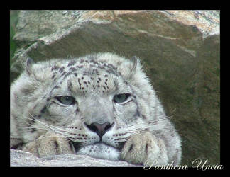 Snow Leopard-01 by m00phr
