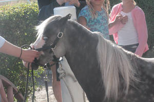 silver dapple shetland pony2 by ShishiNoSeirei